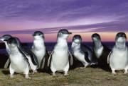 墨尔本菲利普岛中文一日游 神仙企鹅大巡游+诺比斯中心看海豹+野生动物园+巧克力工厂 大巴免费WiFi