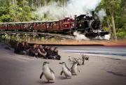 墨尔本 双拼一日游 复古蒸汽小火车+神仙小企鹅大巡游 特惠组合 经典童趣 高性价比